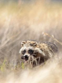 Raccoon Dog with cub Photo by Vilius Paskevicius -- National Geographic Your Shot