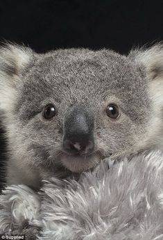 It has not been easy for the couple with continual sleepless nights as Imogen is such a cheeky and affectionate koala and always wants to be close to them