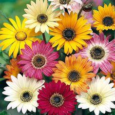 unjardinsostenible.com: Arctotis x hybrida (Margarita africana) Compost, Margarita Flower, Planting Plan, Bear Ears, Flower Center, Garden Club, Annual Plants, Plantar, Zinnias