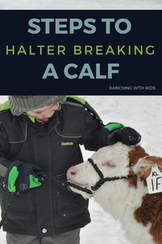 Here are the steps to halter breaking a calf. Country life at its best while preparing show cattle, these simple tips will help to prepare your calf for show. Dexter Cattle, Breeds Of Cows, Cow Tipping, Show Steers, Show Cows, Fluffy Cows, Mini Cows, Farm Kids, Cattle Farming