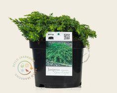 Koop online bij onze tuinplanten webshop de Juniperus communis 'Green Carpet' | Jeneverbes | Gratis verzending! | Binnen 2-4 werkdagen bezorgd! | Tuinplantenwinkel.nl