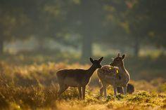 These fallow deer were eating vegetation during the deer rut Wildlife Photography Tips, Deer Photography, Deer Rut, Tunnel Book, Fallow Deer, Out Of Focus, Depth Of Field, Nature, Animals