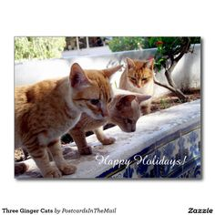 Three Ginger Cats Postcard