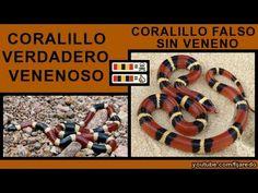 Coralillo verdadero venenoso y falso sin veneno