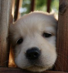 Little Golden Retriever puppy. Cute Baby Animals, Animals And Pets, Funny Animals, Cute Puppies, Cute Dogs, Dogs And Puppies, Doggies, Corgi Puppies, Retriever Puppy