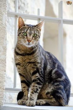 Tabby What kind of cat is a tabby? 30 Tabby Cat Photos - A tabby is any domestic cat that has a coat featuring distinctive stripes, dots, lines or swirling patterns, usually together Chats Tabby, Grey Tabby Cats, Cats And Kittens, Bengal Cats, Ragdoll Kittens, White Kittens, Baby Cats, I Love Cats, Cool Cats