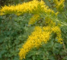 Fall Plants: Goldenrod: Medicinal Uses: treats kidney stones, urinary tract infections, bladder inflammation, digestive problems, colds and flu, sore throat, laryngitis, fatigue, and surprisingly, hay fever and allergies.  Externally, Native Americans boiled leaves and used them topically as an antiseptic and astringent for wound healing and relief from eczema, arthritis, and rheumatism