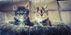 Cute fluffy pedigree kittens available <3  www.funkytail.co.uk Bobtail Cat, Cattery, Kittens, Cats, Animals, Cute Kittens, Gatos, Animales, Animaux
