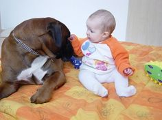 Boxers are intelligent, high-energy, playful dogs that like to stay busy. Their temperament reflects their breeding. They prefer to be in the company of their owners and are loyal #pets that will fiercely guard their family and home against strangers.  #boxers