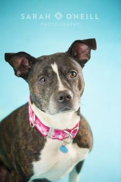 01/24/16 - -Petango.com – Meet Betty, a 6 years 8 months Terrier, American Pit Bull / Mix available for adoption in OSGOODE, ON