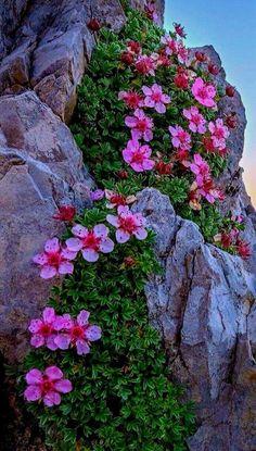 Popular Garden Landscaping Tips Rock Flowers, Exotic Flowers, Amazing Flowers, Wild Flowers, Beautiful Flowers, Alpine Flowers, Alpine Plants, Garden Waterfall, Amazing Nature