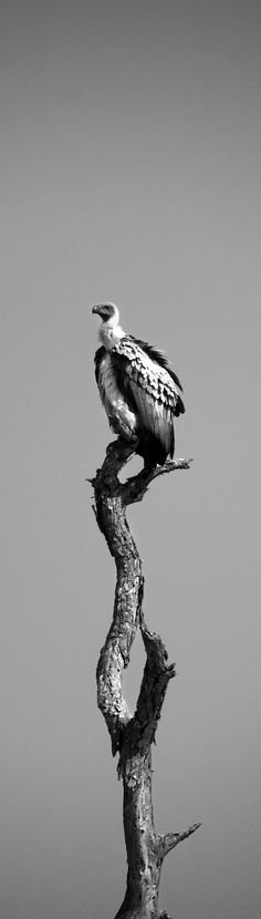 Vulture awaiting his meal. Taken in the Sabi Sand Game Reserve
