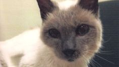 A 30-Year Old Siamese From Texas Breaks the Guinness World Record for Oldest Living Cat
