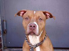 TO BE DESTROYED - THURSDAY - 5/15/14 Brooklyn Center -P  My name is REX. My Animal ID # is A0998229. I am a neutered male brown and white am pit bull ter mix. The shelter thinks I am about 1 YEAR 6 MONTHS old. *** RETURNED 5/12/14 *** HELPER DOG ***  I came in the shelter as a RETURN on 05/12/2014 from NY 11236, owner surrender reason stated was PETS CONFL.