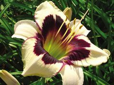 Flower Figures: Tips for Dividing Daylilies