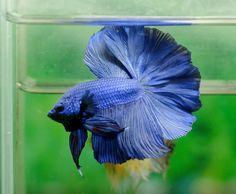 Flickr Halfmoon Betta, Betta Fish, Siamese, Green, Blue, Animals, Pisces, Animaux, Animal