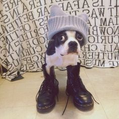 Funny boston terrier pictures with captions