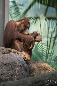 Kera wak and baby - Cincinnati Zoo