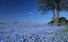 Each year million Nemophilas (baby blue eyes) bloom in Japan's Hitachi Seaside Park drawing in people from all over the world. See the pics. Ibaraki, Pretty Flowers, Blue Flowers, Japanese Park, Hitachi Seaside Park, Costa, Japan Tourism, Spring Photos, Japanese Flowers