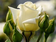 White rose Flower HD desktop wallpaper, Rose wallpaper - Flowers no. White Rose Flower, Love Rose, Yellow Roses, My Flower, White Roses, Flower Power, Beautiful Live Wallpaper, View Wallpaper, Flower Wallpaper