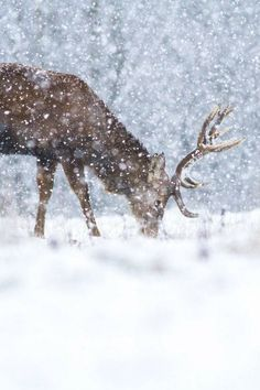 Winter, deer in the snow. I Love Snow, I Love Winter, Winter Snow, Winter Christmas, Winter White, Woodland Christmas, Merry Christmas, Cozy Winter, Winter Colors