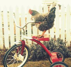 If I told you I had a bike with a basket in front and my chicken Little Red Hen rode the handlebars through my neighborhood, would you believe me?