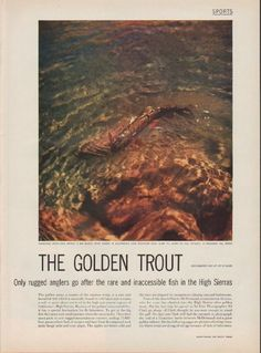 "Description: 1952 THE GOLDEN TROUT vintage magazine article ""rugged anglers"" -- The Golden Trout, photographed for LIFE by Ed Clark ... Only rugged anglers go after the rare and inaccessible fish in the High Sierras ... Exhausted after long battle, a big golden trout caught in California's Lake Seventeen (Elev. 11,000 ft.) flaps its tail furiously. It measured 14 1/2 inches ... article also features fisherman Charles McDermand, Kern River, Big Five Lakes, Junction Meadow, old guide Ben…"