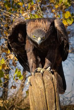 The Eagle has truly mastered the Face of Death. This is the countless last look his prey ever will see. Eagle Images, Eagle Pictures, All Birds, Birds Of Prey, Beautiful Birds, Animals Beautiful, Aigle Animal, The Eagles, Wedge Tailed Eagle