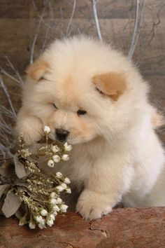 Adorable Chow Chow Dog smelling the Flowers