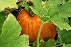 Last fall, I grew my own pumpkins for the first time.  Now, I have to say that I feel a sense of pride when I grow my own vegetables, but...