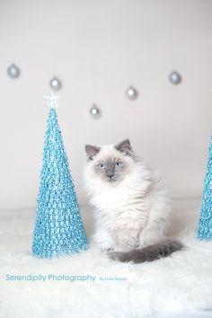 Christmas Kitty, Ragdoll Kitten, Blue Pointed Ragdoll