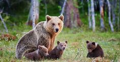 Wyoming approved Grizzly bear trophy hunting, just a year after they lost endangered status Grizzly Bear Hunting, Grizzly Bears, Alaska, Mother Bears, Wolf Pup, Trophy Hunting, Brown Babies, Bear Cubs, Panda Bear