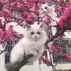 Cute kittens on a pink tree ♥ Gatos Ragdoll, Gatos Cats, Ragdoll Kittens, Bengal Cats, Pretty Cats, Beautiful Cats, Animals Beautiful, Cute Kittens, Crazy Cat Lady