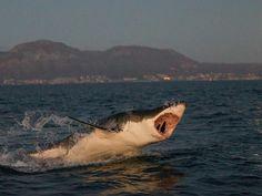Retirar las aletas de tiburón cuando aún está vivo.