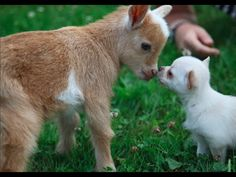 Chihuahua Puppy Thinks She's a Baby Goat | 1Funny.com