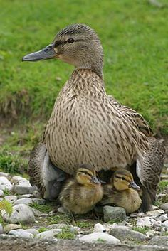 Mallard female with young