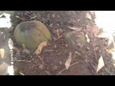 Como plantar Coqueiro Anão!!! - YouTube