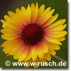 Stauden Stade Versand Shop: Gaillardia x grandiflora 'Amber Wheels' (Kokardenblume) hier bestellen Shops, Amber, Wheels, Flowers, Plants, Lawn And Garden, Tents, Retail, Plant