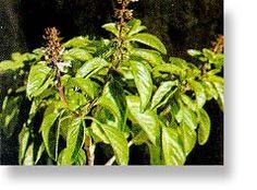 Βασιλικός (Ocimum basilicum) Simple Minds, Herbs, Health, Flowers, Plants, Health Care, Herb, Plant, Royal Icing Flowers