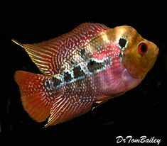 Very nice young Neo Dragon Flowerhorn for sale in our online store. Beautiful Tropical Fish, Beautiful Fish, Rare Fish, Exotic Fish, South American Cichlids, Glass Fish Tanks, Cichlid Fish, Deep Sea Creatures, Salt Water Fish