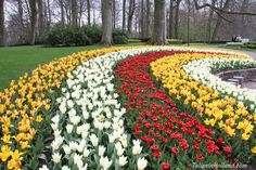 11 fun facts about tulips on the website http://tulipsinholland.com/2015/03/11-fun-facts-tulips/  #travel to the #tulipsinholland spring 2017