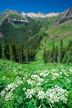 Summer - Cow parsnip in the San Juan Mountains near Silverton, Colorado