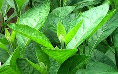 RAMUAN HERBAL UNTUK ASAM URAT PALING AMPUH DAN MUJARAB  Anda menderita sakit asam urat yang menyiksa? Jangan khawatir, cobalah ramuan herbal alami untuk asam urat yang ampuh dan mujarab ini. Ramuan herbal yang dapat dengan mudah dibuat sendiri dan telah terbukti nyata khasiatnya...