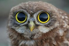 Baby Owl with VERY BIG eyes!