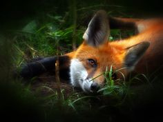 Red Fox by Wolfgang Roschen on 500px