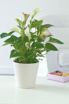 Des anthuriums pour décorer votre intérieur !
