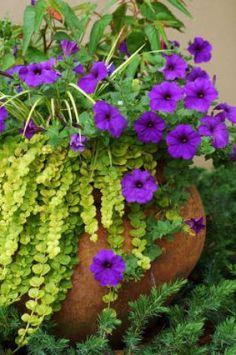 Purple petunias with golden creeping jenny.