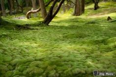 Kokedera, also known as Saihoji, also known as the Moss Temple, is one of the most spectacular places in Kyoto, Japan. by MyohoDane Moss Temple, Japanese, Kyoto Japan, Places, Garden, Outdoor Decor, Nature, Garten, Naturaleza