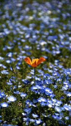 Orange in Blue by shinichiro saka: Baby blue eyes and California poppy. #Wildflowers