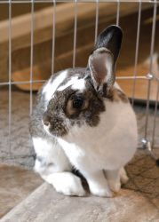 Hannah is an adoptable American Rabbit in Columbus, OH. Hannah is as sweet as they come! She is so friendly, and so happy to be with human friends after she was rescued off the streets in Reynoldsburg...